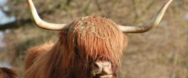 manzo scozzese
